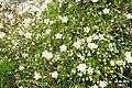 Saxifrage or stitchwort? (Grubigstein) (23965558019).jpg