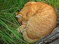 Schlafender Kater in hohem Gras.JPG