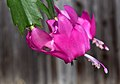 Schlumbergera × buckleyi flower1.jpg