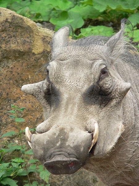 File:Schwein Warzenschwein Phacocherus aethiopicus0509013.jpg