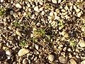 Scleranthus annuus (s. str.) sl40.jpg