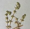 Scleranthus perennis herbarium (05).jpg
