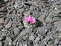 Sclerocactus glaucus Colorado (6001742517).jpg