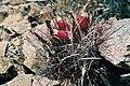 Sclerocactus polyancistrus fh 83 1 CAL B.jpg