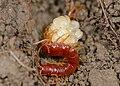 Scolopocryptops centipede maternal care.jpg
