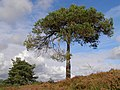 Scots pine tree, Duck Hole, New Forest - geograph.org.uk - 563496.jpg
