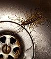 Scutigera coleoptrata in a sink.jpg
