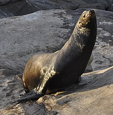 Sea Lions At La Jolla Cove - 32.jpg