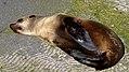 Seal (37193814685).jpg