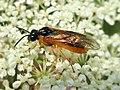 Selandria serva (Tenthredinidae) - (imago), Arnhem, the Netherlands.jpg