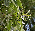 Semecarpus anacardium (Marking Nut) W IMG 1403.jpg
