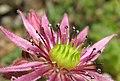 Sempervivum montanum (14494526892).jpg