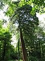 Sequoia près de la petite rivière du parc de Noisiel.jpg
