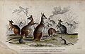Seven different specimen of kangaroos, including a rabbit-ea Wellcome V0021274.jpg