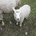 Sheep at farm in Kiruna.JPG