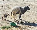 Sheep with lamb in Tunesia..jpg