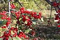 Shepherdia canadensis 04.JPG