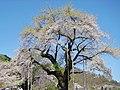 Shokawa zakura 2008-05.jpg