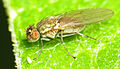Shore Fly (Hydrellia) female (14317480959).jpg