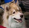 Siberian husky (7098898215).jpg