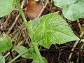 Sicyos angulatus 3.jpg