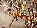 Silverleaf Bitter Apple (Solanum elaeagnifolium) fruits (32689968515).jpg