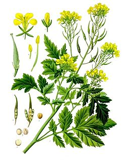 White mustard species of plant