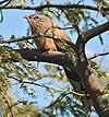 Sirkeer Malokha I -Bharatpur IMG 8732