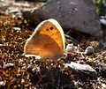 Small Heath. Coenonympha pamphilus. - Flickr - gailhampshire (1).jpg