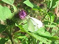 Small White Butterfly on Burdock, near Wilstone Reservoir - geograph.org.uk - 1440362.jpg