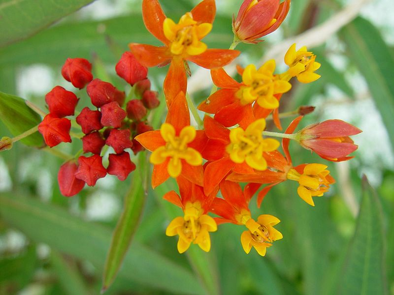 File:Small orange and red flowers red buds.jpg