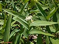 Smilacina stellata 2017-05-23 0668.jpg