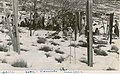 Snow gums, Mount Kosciusko (Kosciuszko) (NSW) (6819126422).jpg