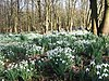 Snowdrops at Bank Hall - geograph.org.uk - 817638.jpg
