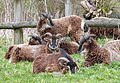 Soay Sheep. Ovis aries - Flickr - gailhampshire.jpg
