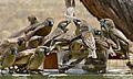 Sociable Weavers (Philetairus socius) (6453185501).jpg