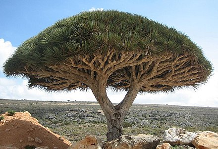The dragon blood tree is considered a remnant of the Mio-Pliocene Laurasian subtropical forests that are now almost extinct in North Africa. Socotra dragon tree.JPG
