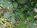 Solanum diphyllum 20181022 154953.jpg