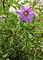 Solanum dulcamara 6Bluetenblaetter.jpg
