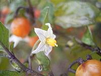 Solanum triflorum 01-10-2005 11.12.02
