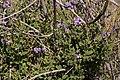 Solanum xanti - Flickr - aspidoscelis (3).jpg