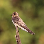 Southern rough-winged swallow (Stelgidopteryx ruficollis ruficollis).JPG