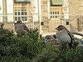 Sparrows (16057350436).jpg