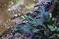 Spathiphyllum cannifolium (Araceae) (29304435334).jpg