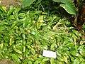 Spathiphyllum wallisii.JPG