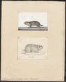 Spermophilus guttatus - 1700-1880 - Print - Iconographia Zoologica - Special Collections University of Amsterdam - UBA01 IZ20400131.tif