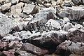 Spheniscus humboldti and Larosterna inca, Islas Ballestas 2.jpg