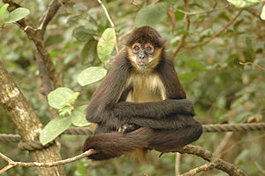 Spider monkey - Geoffroy's spider monkey