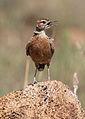 Spike-heeled lark, Chersomanes albofasciata, at Suikerbosrand Nature Reserve, Gauteng, South Africa (22644366875).jpg