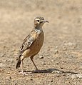 Spike-heeled lark 2018 03 10 13 21 14 3309.jpg